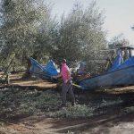 Vareando olivos para la obtención de Aceite de Oliva