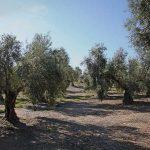 Aceite de oliva virgen extra procedente de olivar ecológico