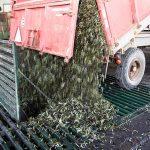 Entregando aceitunas en almazara La Unidad - Certificados de calidad AENOR ISO 14001 y 9001, IFS Food, BRC, Denominación de Origen Monterrubio