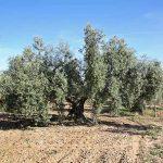Olivo centenario en producción ecológica para la elaboración de aceite de oliva ecológico