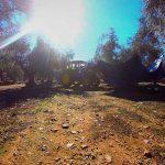 Recogida de aceitunas para la obtención de aceite de oliva ecológico