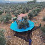 Recogida de aceitunas del olivo para producir aceite virgen extra