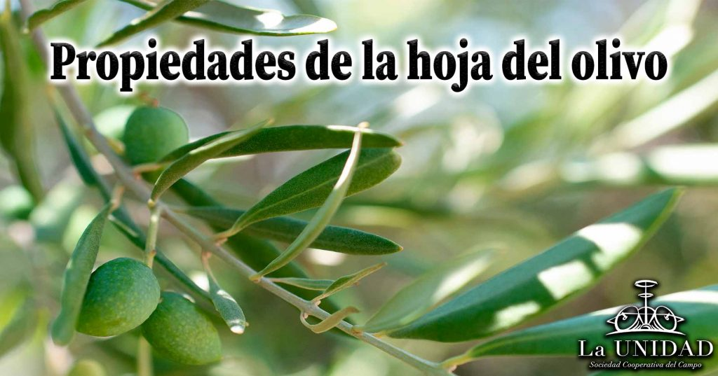 Propiedades de la hoja del olivo