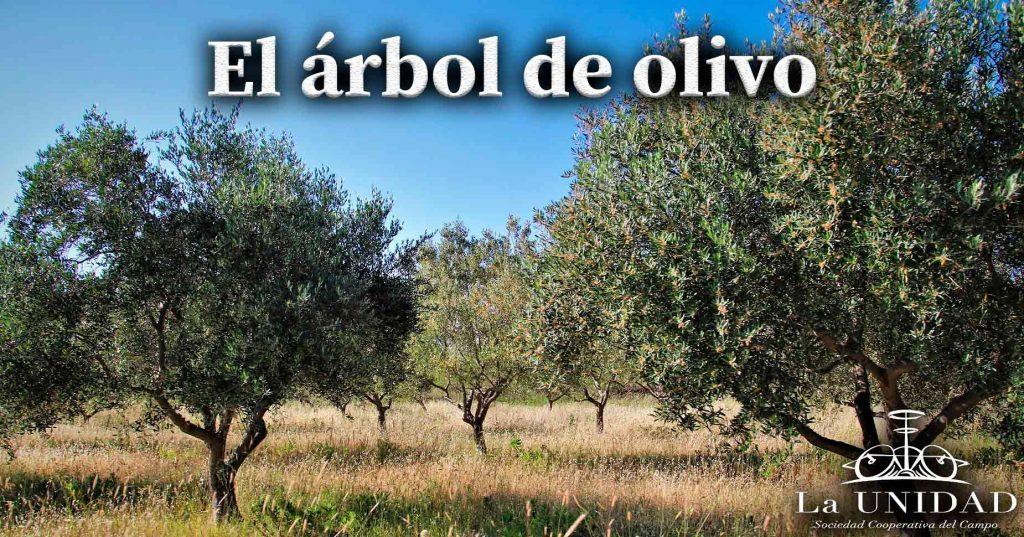 arbol de olivo